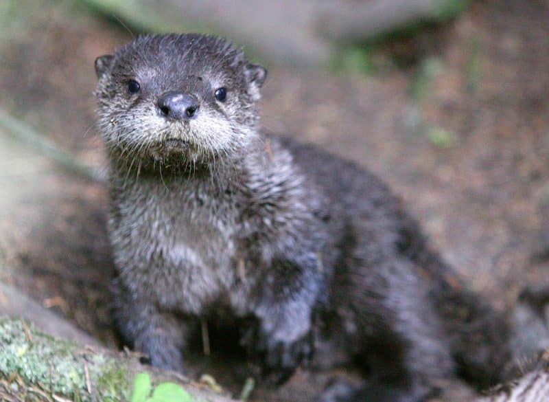 babby otter at trout lake